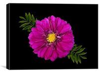 A Purple Dahlia, Canvas Print
