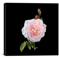 A September Rose, Canvas Print