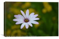 Light purple daisy , Canvas Print