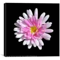 Pink Dahlia with black background , Canvas Print