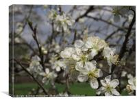 Apple Blossom on a tree , Canvas Print