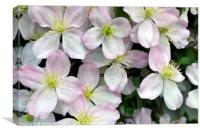 Light Purpley/pink and White Clematis flowers, Canvas Print