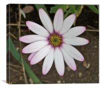 Purple tinted daisy flower, Canvas Print
