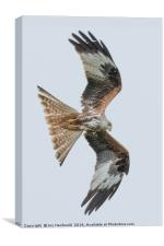 Red Kite in flight. , Canvas Print