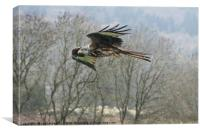 Red Kite in Flight , Canvas Print
