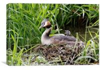 Great Crested Grebe Chick , Canvas Print