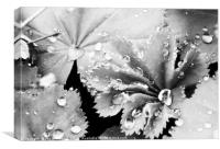 Raindrops on Lady's Mantle, Canvas Print