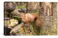Red Squirrel in Woodland , Canvas Print