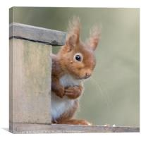 Young Red Squirrel, Canvas Print