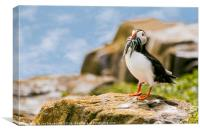 Farne Islands Puffin , Canvas Print
