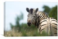 Looking Back Zebra, Canvas Print