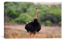 Male Ostrich in Africa, Canvas Print