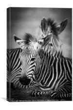 Zebra Resting, Canvas Print