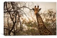 Giraffe , Canvas Print