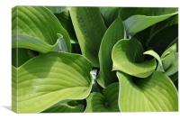 Green Hosta, Canvas Print