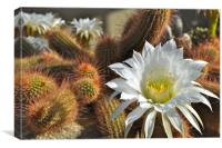 Cactus Flower, Canvas Print