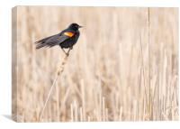 Red-winged blackbird in a Minnesota wetland, Canvas Print
