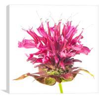 Wild Bergamot also known as Bee Balm, Canvas Print