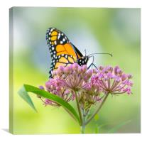 Monarch Butterfly on Swamp Milkweed, Canvas Print
