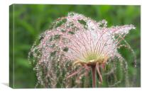 Prairie Smoke   , Canvas Print