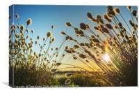 Cotton grass in evening light , Canvas Print