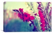 Gladiolus communis, Canvas Print