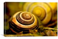 Snail shell close to the lens , Canvas Print