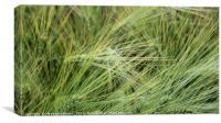 Green wheat, Canvas Print