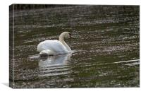 Swan on the pond., Canvas Print