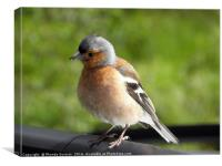Curious chaffinch, Canvas Print