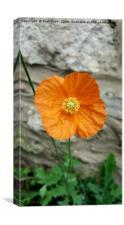 orange poppy, Canvas Print