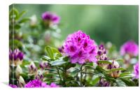 Blooming Rhododendron flowers with bokeh green bac, Canvas Print