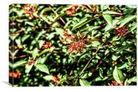 Firebush Or Hummingbird Bush (Hamelia Patens) Flow, Canvas Print