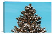 Pine Tree Covered In Winter Snow, Canvas Print