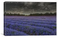 Lavender in bloom under a threatening sky, Canvas Print