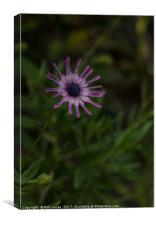 The blue eyed daisy, Canvas Print