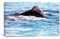 Whale tail , cape cod, cape cod, Canvas Print