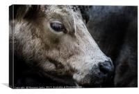 farm cow close up portrait , Canvas Print