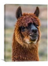 Alpaca Close-up On Utah Farm, Canvas Print