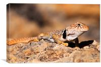 Great Basin Collared Lizard - Utah, Canvas Print