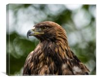 Golden Eagle Portrait - Utah, Canvas Print