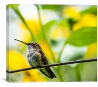 Female Broad-tailed Hummingbird With Sunflowers, Canvas Print