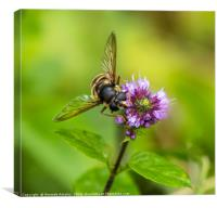 Portrait of a Hover Fly, Canvas Print