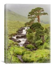 Caledonian Pines of Cona Glen, Canvas Print