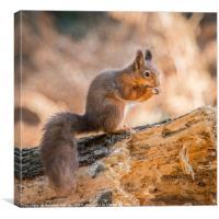 Juvenile Red Squirrel, Canvas Print