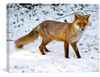 Winter Fox, Canvas Print