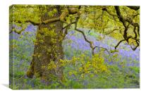 Bluebell Meadow, The Trossachs, Scotland, Canvas Print