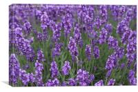 Lavender in The Wind, Canvas Print