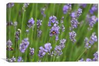 Ladybird Lavender, Canvas Print
