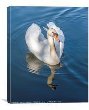 Mute Swan on a Lake, Canvas Print
